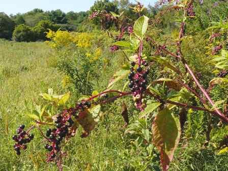 Poke berries