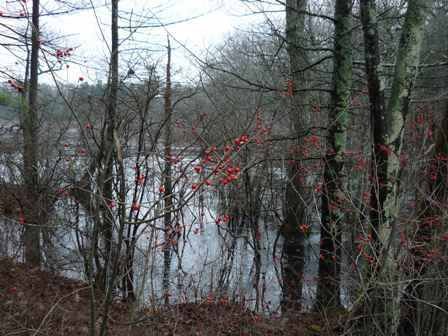 Winterberry Holly (2)