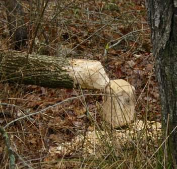 beaver chewed tree - boardwalk
