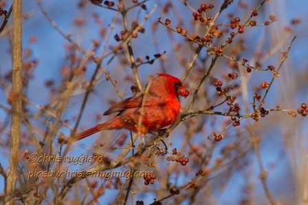 IMG_9328-Cardinal and berry SSM