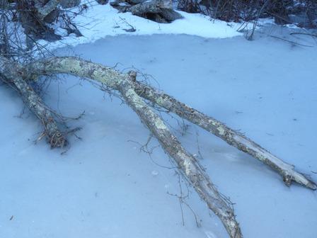 Lichen and Virginia creeper vine