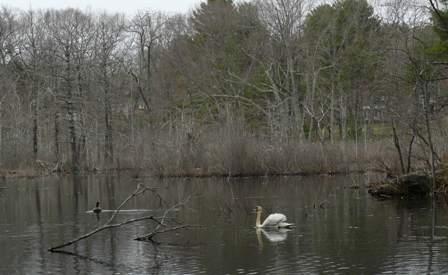 aggressive swan