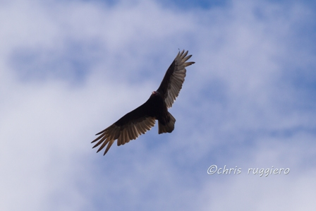 IMG_1876-Turkey vulture SSA