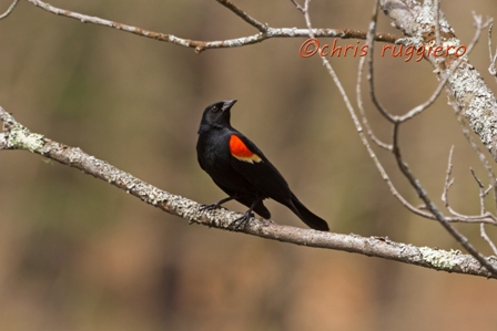 IMG_2019-RW Blackbird SSA