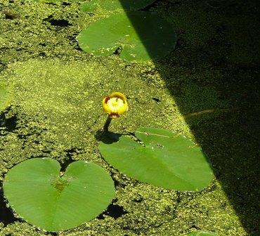 Nuphar flower