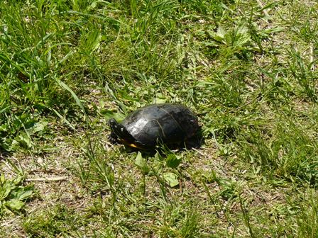 Turtle in Indian Brook Trail