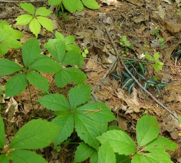 Striped wintergreen