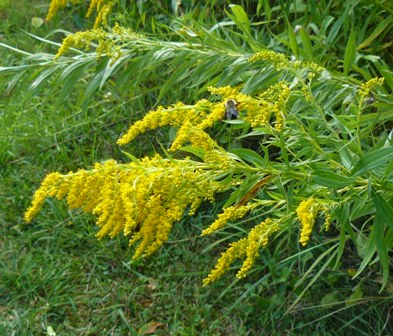goldenrod with bee 2