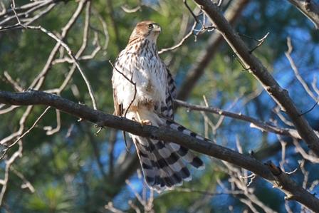 Cooper's hawk Greg Dysart 12-20-2014 Natick, MA