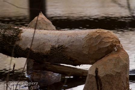 IMG_8145-Beaver chew  1 SSA