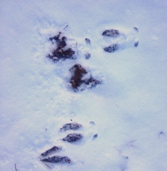 deer prints with dew claw