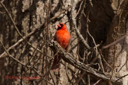 IMG_9191-Cardinal  SSA
