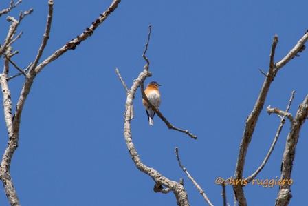IMG_9450-Bluebird  SSA