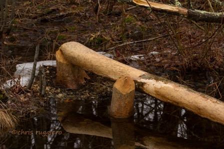 IMG_9901-Beaver activity  SSA