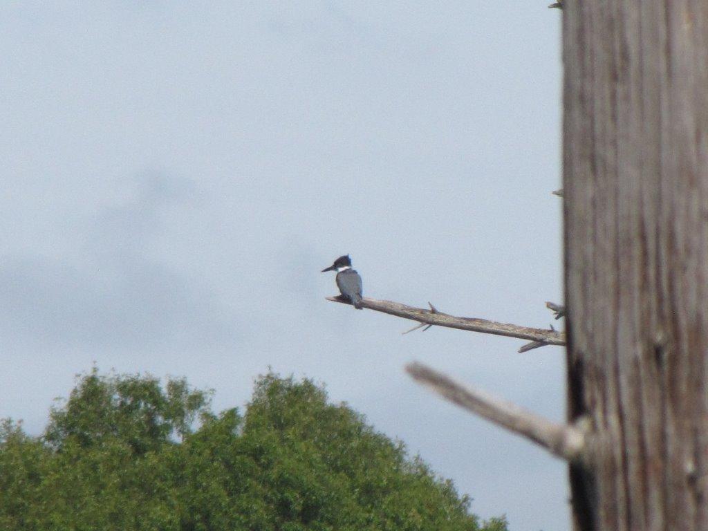 Belted kingfisher Waseeka