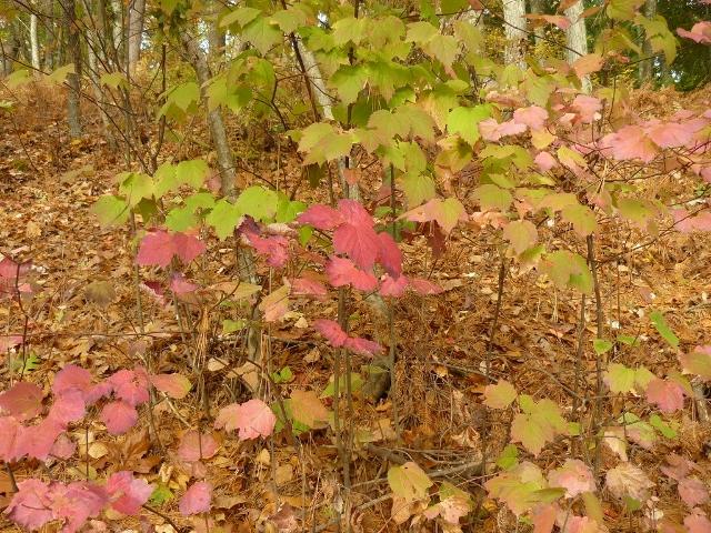 maple-leaved-viburnum-640x480