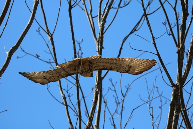 red-tail-south-street