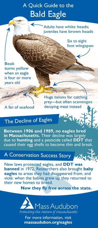 Bald Eagle Infographic