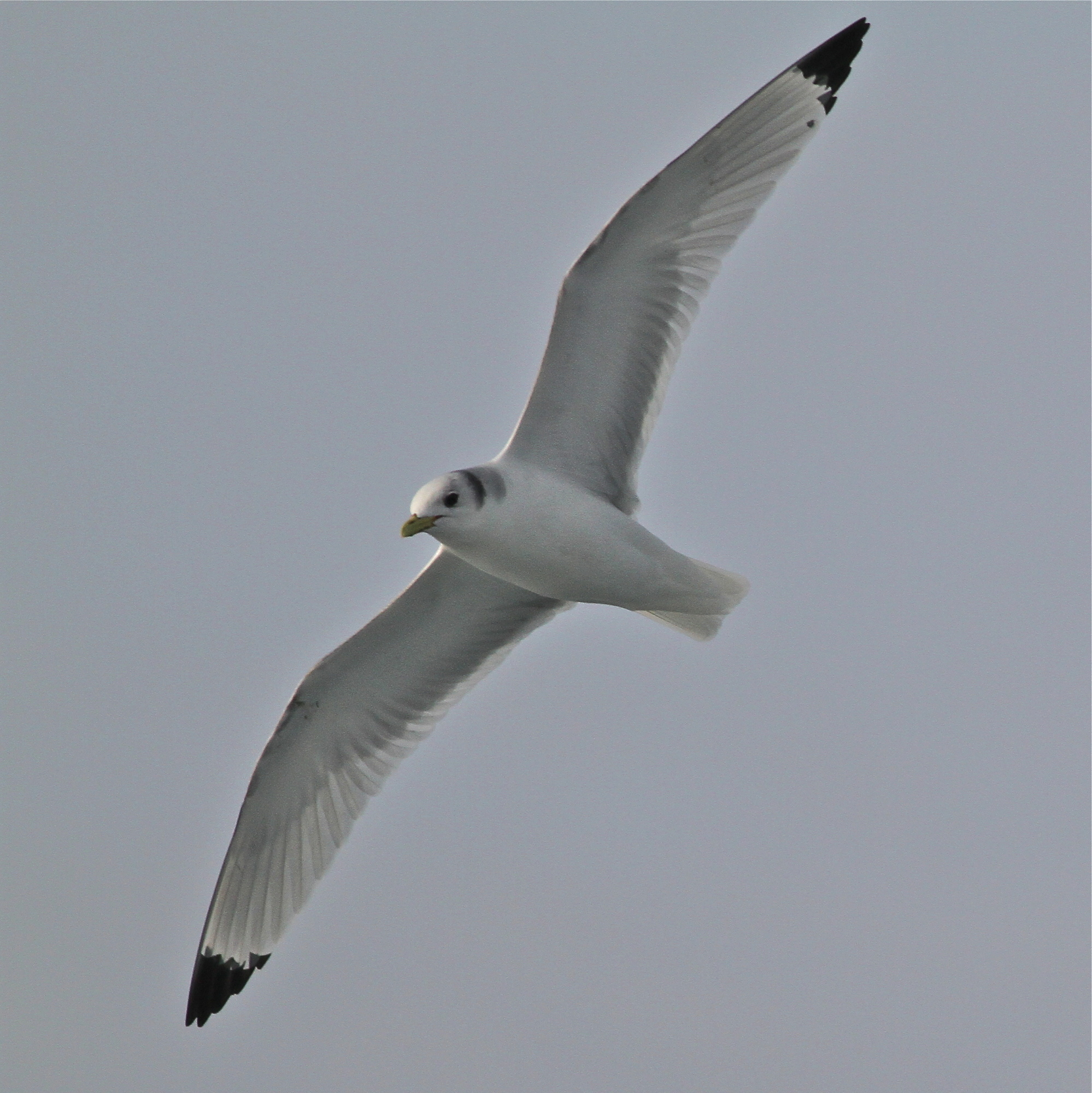 Black-legged Kittiwake, Martha Goetschkes
