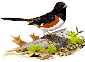 Eastern Towhee, by John Sill.