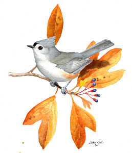 Tufted Titmice have taken Massachusetts by storm in the past thirty years. Copyright John Sill.