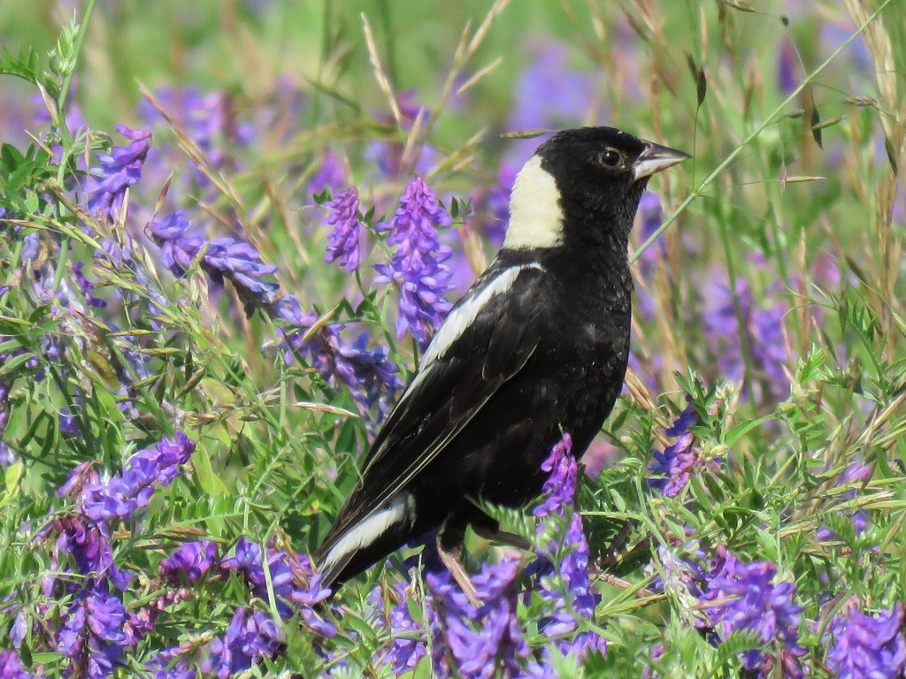 Male Bobolink by Allan Strong.
