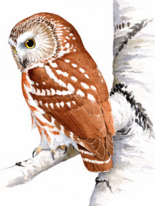 Northern Saw-whet Owl, John Sill