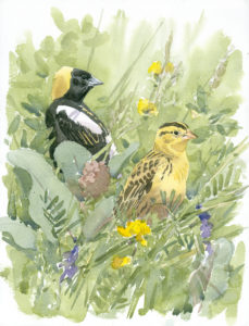 Bobolink Pair at Drumlin Farm, watercolor by Barry Van Dusen, artist in residence for the Museum of American Bird Art at Mass Audubon, 2015-2017. © Barry Van Dusen