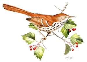 Brown Thrasher by John Sill