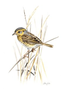 Saltmarsh Sparrow by John Sill