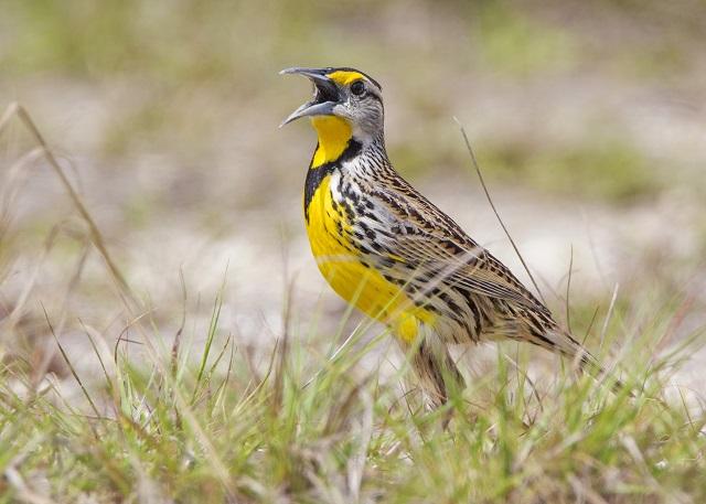 Eastern Meadowlark Citizen Science Project May 15–June 15 ...