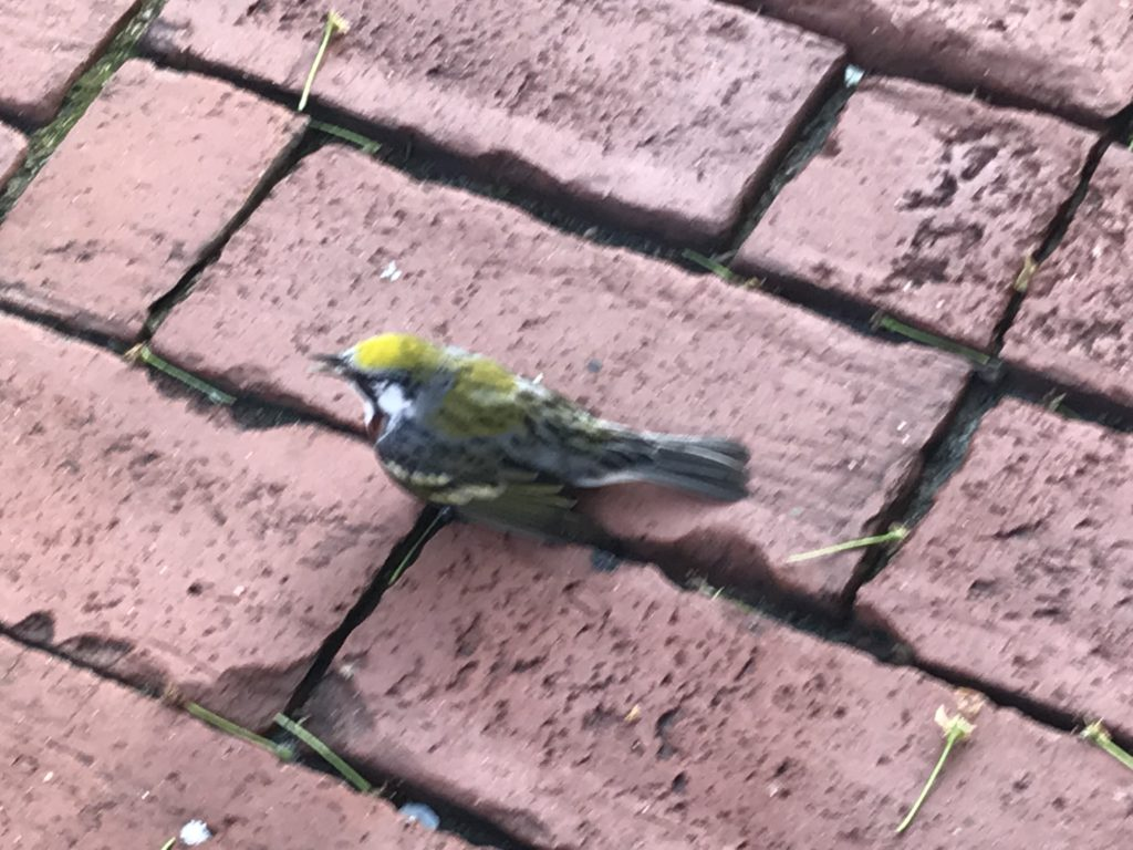 Our volunteers snapped a quick cell phone photo of the injured warbler next to the curb.