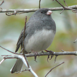 Dark-eyed Junco By Ken Thomas via Wikimedia Commons