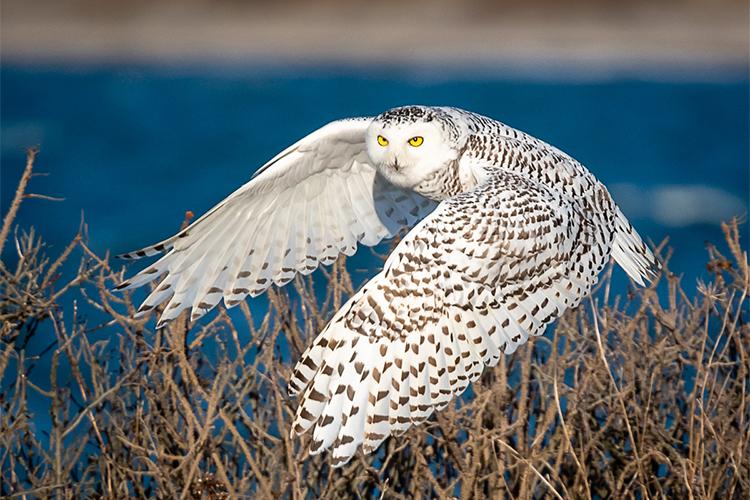 Snowy Owl © Fred Laberge