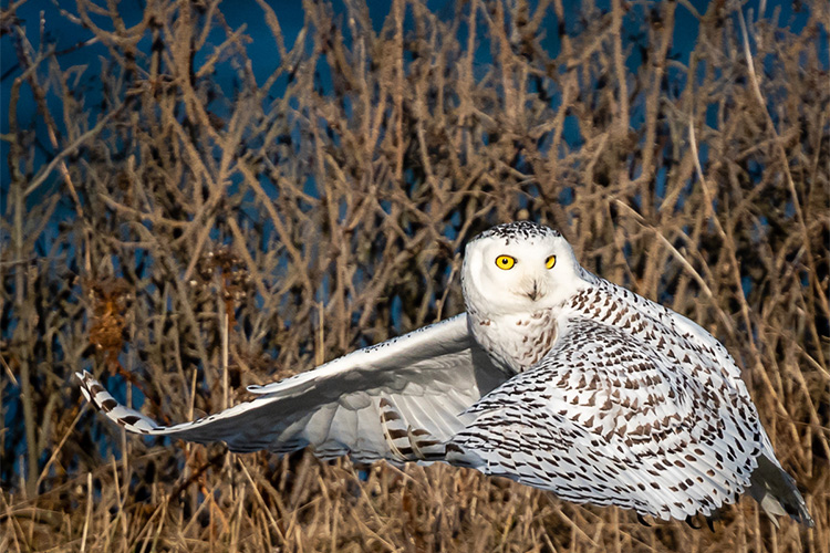 Snowy Owl at Gooseberry Island © Fred Laberge