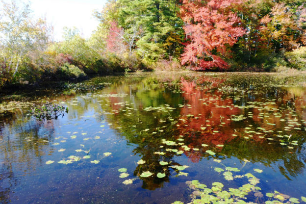 Stony Brook Pond lilies in fall colors
