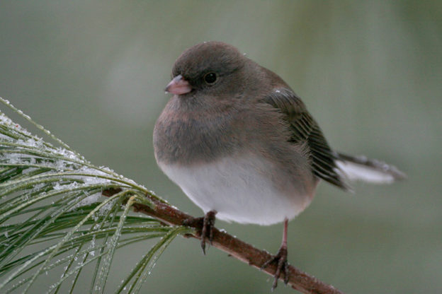 Dark-eyed Junco on a snowy pine branch