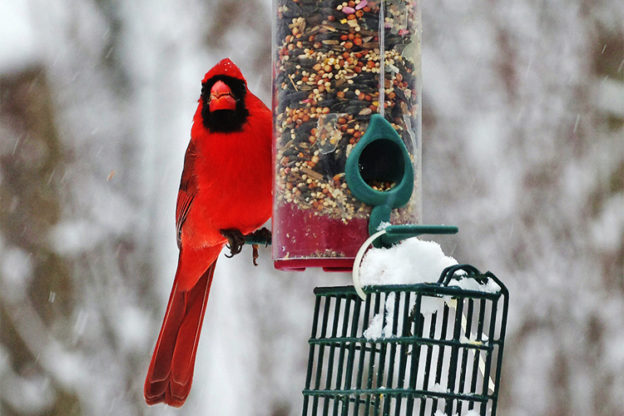 Northern Cardinal at a feeder in winter © Charlie Zap