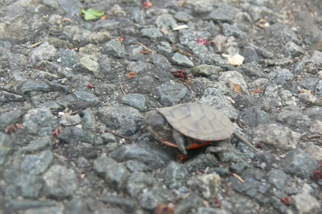 Painted turtle Wompatuck