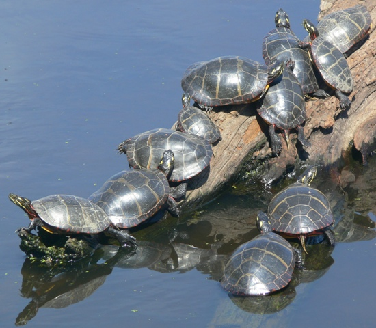 Painted turtles DWWS2