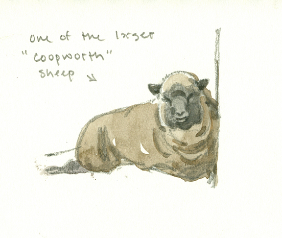 Coopworth Sheep - at 72 dpi