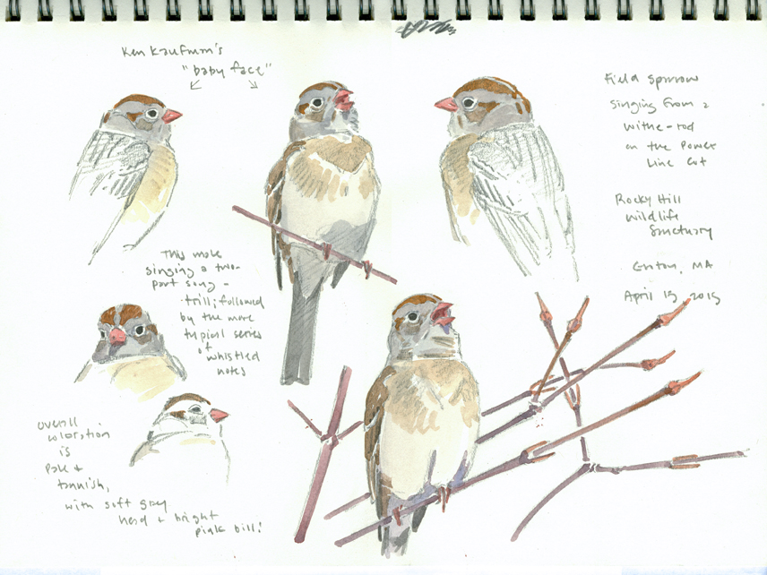 Field Sparrow Studies, Rocky Hill - at 72 dpi