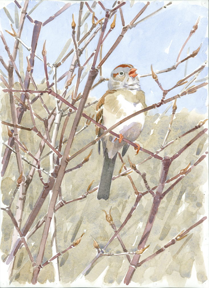 Field Sparrow in Withe-rod, Rocky Hill, Groton - at 72 dpi