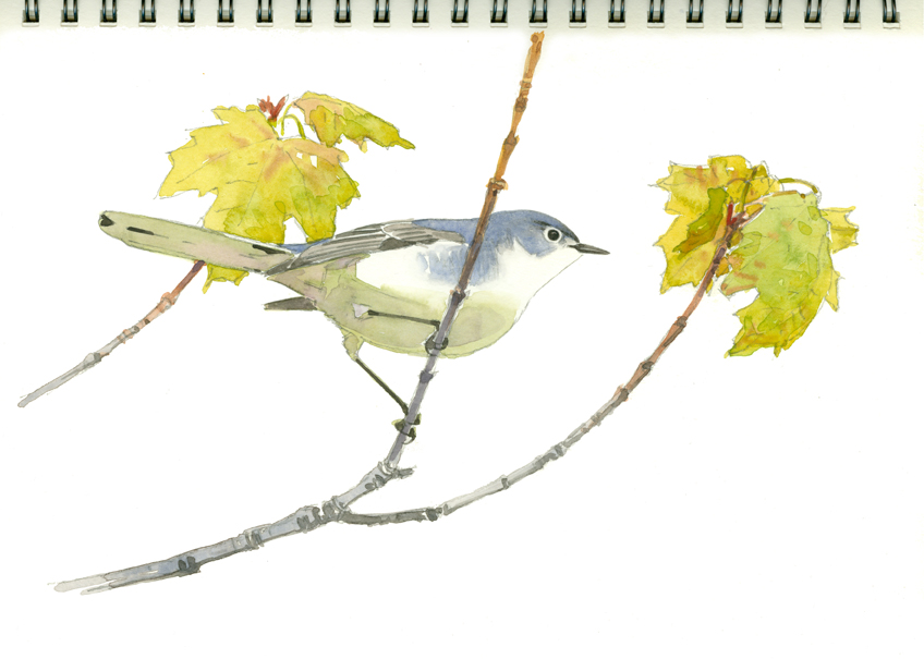 Gnatcatcher in Red Maple 2, Eagle Lake - at 72 dpi
