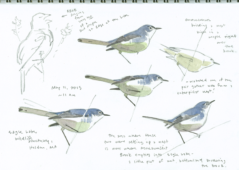 Gnatcatcher studies, Eagle Lake - at 72 dpi