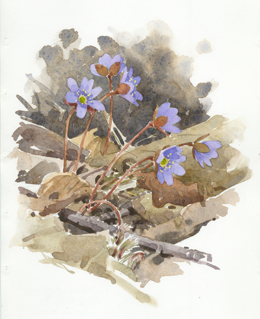 Hepatica (Blue), Wachusett Meadow - at 72 dpi