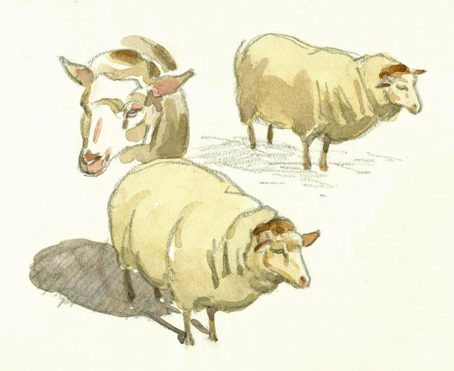 Shetland Sheep studies - at 72 dpi