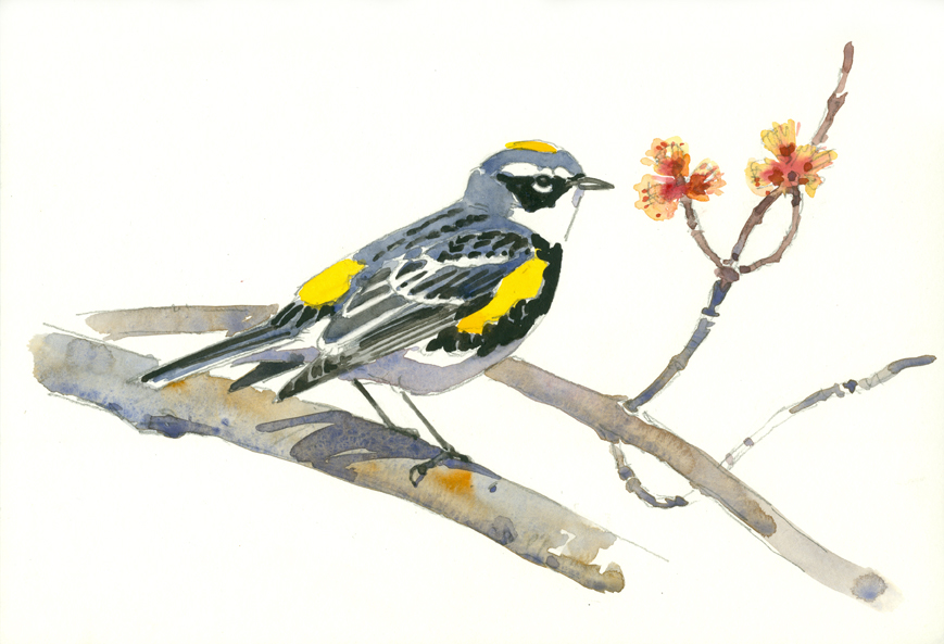 Yellow-rump Study, Wampanoag - at 72 dpi