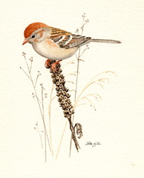 Field Sparrow. Copyright Mass Audubon