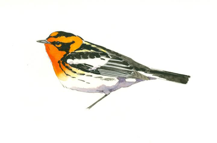 Blackburnian Warbler study, High Ledges - large at 72 dpi